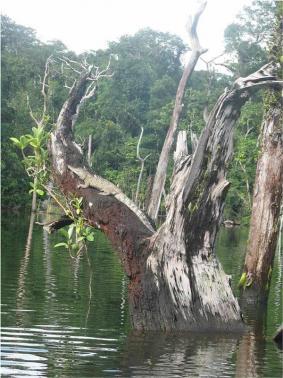 Undated handout photo shows an adult Philippine crocodile on a tree limb