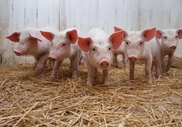 Россельхознадзор ответил на санкции Вашингтона: свинина из США снова под запретом