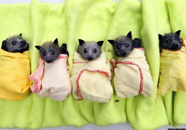 Лучше котят. В Австралии открыли «детскую» больницу для летучих мышей