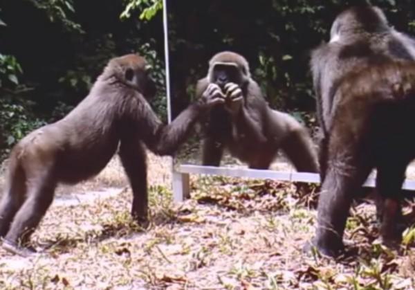 Видео: как животные реагировали на зеркало в джунглях Африки
