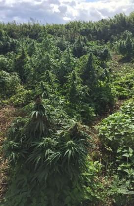 cannabis 02