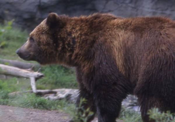 Фото убитого в Хабаровске медведя вызвало споры о гуманности отстрела животных