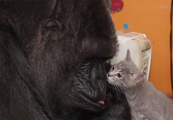 Мимими видео: горилле позволили взять на воспитание двух котят