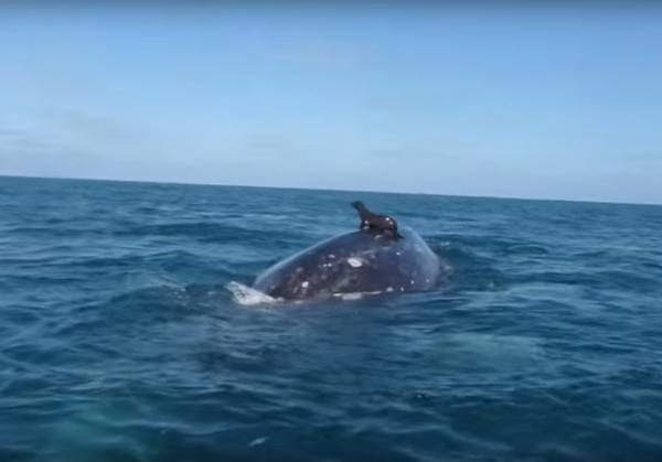 ВИДЕО. Морской котик прокатился верхом на ките