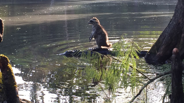 raccoon-surfing-on-aligator