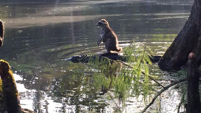 raccoon-surfing-on-aligator
