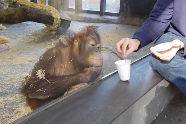 PAY-oranguntan-in-a-zoo-reacting-to-seeing-a-magic-trick