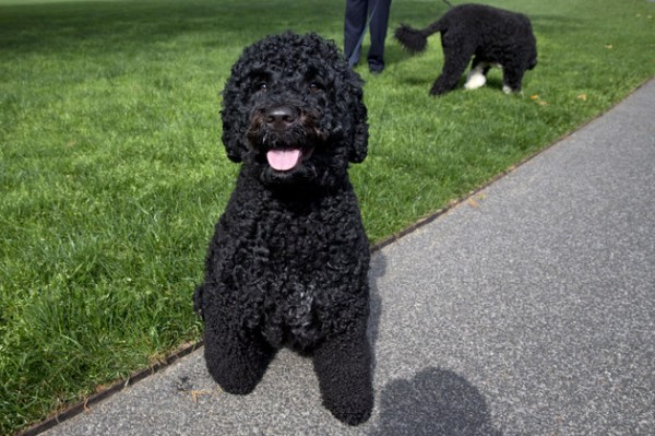 The Presidential dogs Sunny, left, and Bo, are walked by a handler on the South Lawn of the White House on Saturday, May 17, 2014. The Portuguese water dogs are the Obama family pets. (AP Photo/Jacquelyn Martin)