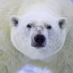 Страшная месть. Белый медведь загрыз строителя на Земле Франца-Иосифа