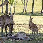 Фото дня: умирающая мама-кенгуру в последний раз тянет лапы к своему крохе