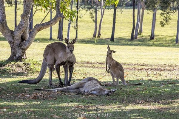 kangaroo 05