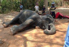 В Камбодже слониха умерла от истощения, катая туристов по жаре
