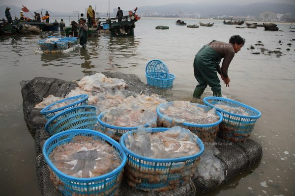 Zhapo, PRC China has a huge Jellyfish fisherie, the entire town slings laundry tubs of gelatinous mucous like jellyfish if it is cloudy day and they can see the masses of jelly from their boats. You have to be aware of cultural differences... People in China like to eat jellyfish because of the texture. But, to me, a jellyfish fishery is