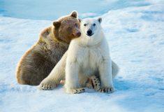 Гризли уже не те. В Арктике появился новый вид медведей «пизли»