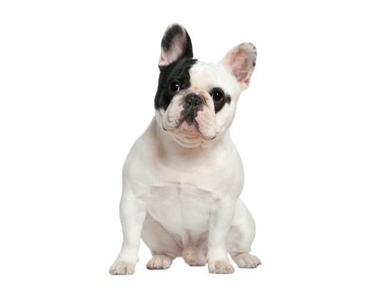 french-bulldog-45c48bafc6880ef44a2ecd293c66c0f9