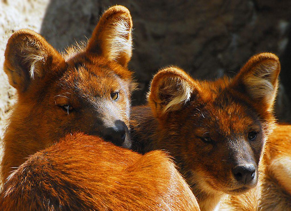 Фото пары волков