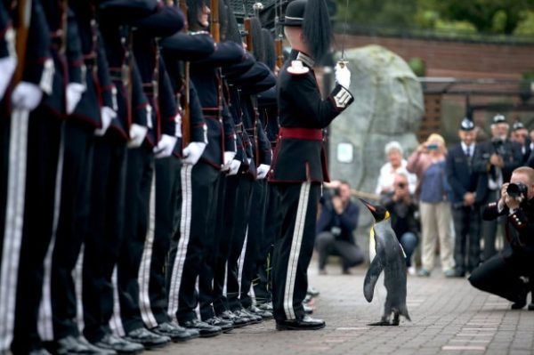 Uniformed soldiers of the King of Norway's Guard parade for inspection by their mascot, king penguin Nils Olaf, who was awarded a knighthood in 2008, at RZSS Edinburgh Zoo, as they announce the penguin's promotion and new title of ìBrigadier Sir Nils Olavî. PRESS ASSOCIATION Photo. Picture date: Monday August 22, 2016. The prestigious title was awarded during a special ceremony which was attended by over 50 uniformed soldiers of His Majesty the King of Norwayís Guard, who are taking part in The Royal Edinburgh Military Tattoo this year. Sir Nils paraded his way up Penguin Walk, whilst inspecting the soldiers of the Guard. The regal, black, white and yellow bird is the mascot of His Majesty the King of Norwayís Guard and his honour is approved by King Harald V of Norway. See PA story SCOTLAND Penguin. Photo credit should read: Jane Barlow/PA Wire