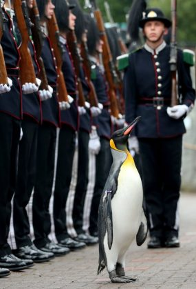 RETRANSMITTING CORRECTING NAME OF PENGUIN FROM OLAF TO OLAV CORRECT CAPTION SHOULD READ Uniformed soldiers of the King of Norway's Guard parade for inspection by their mascot, king penguin Nils Olav, who was awarded a knighthood in 2008, at RZSS Edinburgh Zoo, as they announce the penguin's promotion and new title of Brigadier Sir Nils Olav. PRESS ASSOCIATION Photo. Picture date: Monday August 22, 2016. The prestigious title was awarded during a special ceremony which was attended by over 50 uniformed soldiers of His Majesty the King of Norwayís Guard, who are taking part in The Royal Edinburgh Military Tattoo this year. Sir Nils paraded his way up Penguin Walk, whilst inspecting the soldiers of the Guard. The regal, black, white and yellow bird is the mascot of His Majesty the King of Norwayís Guard and his honour is approved by King Harald V of Norway. See PA story SCOTLAND Penguin. Photo credit should read: Jane Barlow/PA Wire