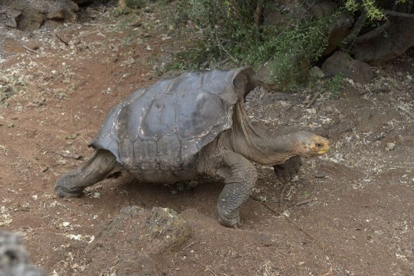 Одержимый сексом самец черепахи спас собственный вид отвымирания