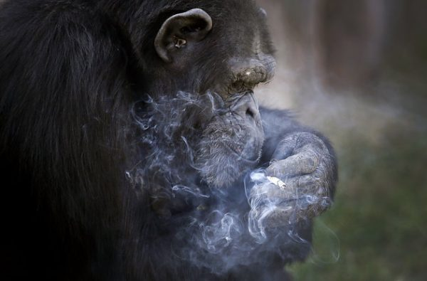 "Azalea, whose Korean name is ""Dallae"", a 19-year-old female chimpanzee, smokes a cigarette at the Central Zoo in Pyongyang, North Korea on Wednesday, Oct. 19, 2016. According to officials at the newly renovated zoo, which has become a favorite leisure spot in the North Korean capital since it was re-opened in July, the chimpanzee smokes about a pack a day. They insist, however, that she doesn't inhale. (AP Photo/Wong Maye-E)"