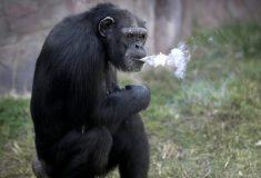 «Планета вейперов». Шимпанзе в северокорейском зоопарке научили курить