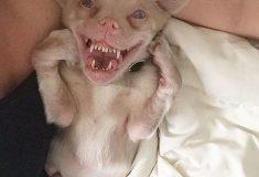 Пёс с улыбкой летучей мыши стал звездой инстаграма