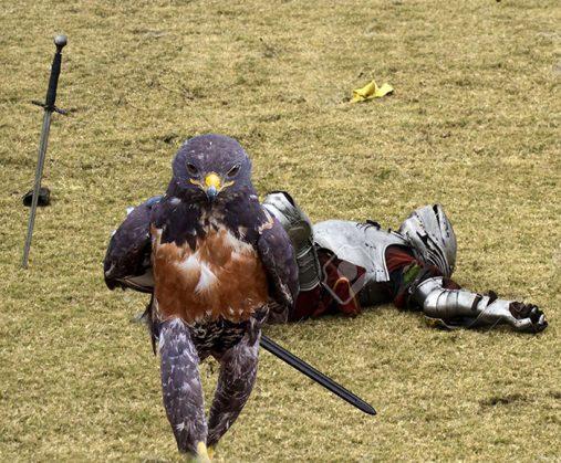 funny-hawk-photoshop-battle-18-57f1fd6cca96f__700