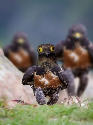 funny-hawk-photoshop-battle-6-57f1fd52ef139__700