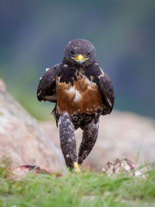 funny-hawk-photoshop-battle-61