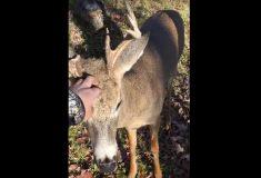 Видео: охотник встретил оленя. И не смог