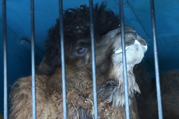 «Гоша не виноват!» В Кургане две машины столкнулись из-за верблюда
