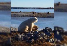 Трогательное видео о дружбе собаки и белого медведя вводит в заблуждение, пишут СМИ