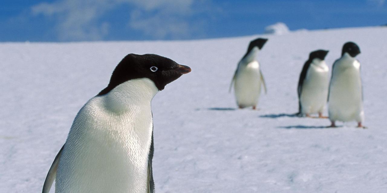 Измена, кровь, предательство. Фильм National Geographic о драме в жизни пингвина тронул подписчиков канала