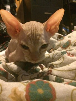 shaved-kittens-sold-sphynx-cats-1-1