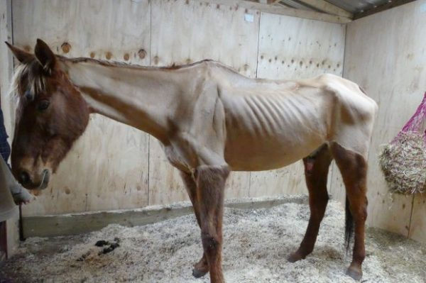 PIC FROM CATERS NEWS - (PICTURED THOR BEFORE) - A rider has been banned from keeping horses after her horse was so thin you could see his RIBS. Charlotte McPherson, from Kidderminster, Worcestershire, pleaded guilty to two offences after her ex-race horses condition was so poor it was rated zero. The 22-year-old has been disqualified from keeping horses for 10 years after appearing at Birmingham Magistrates Court on Tuesday (December 6). SEE CATERS COPY