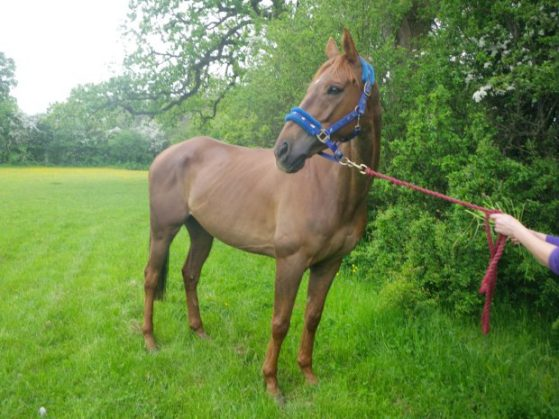 PIC FROM CATERS NEWS - (PICTURED Thor after rescue looking much healthier ) - A chubby rider has been banned from keeping horses after eagle-eyed Facebook users spotted pictures of her riding a skeletal ex-racehorse online. Charlotte McPherson, from Kidderminster, Worcs, was reported to the RSPCA after horse lovers spotted her riding her skinny Thoroughbred horse Thor at a public event in March. She had covered the horses hindquarters with an exercise sheet, designed to keep the horse warm, but it also prevented event organisers from seeing the horses protruding bones. But after official photographs of the event were released on Facebook, dozens of people reported her to animal charities - and she admitted two counts of animal cruelty at Birmingham Magistrates Court earlier this week. SEE CATERS COPY.