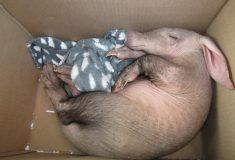 Ветеринар в Намибии выходила детёныша-сироту трубкозуба, найденного под грузовиком