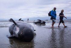В Новой Зеландии 400 дельфинов выбросились на берег. Почему они это сделали и что происходит
