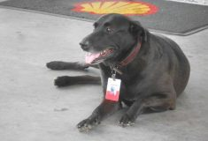 «Клиенты обожают его». Брошенный на заправке в Бразилии пёс нашёл новых хозяев, дом и настоящую работу