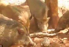 Стадо разгневанных свиней отомстило питону, который утащил поросёнка