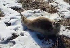 Видео: детёныш тюленя заблудился в степи в Казахстане