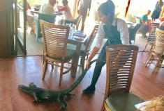Обычный день в Австралии. Официантка вышвырнула из ресторана варана, и это её совсем не смущает