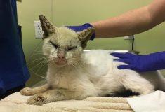 «Он урчал всё время». Бездомный слепой кот начал видеть после лечения и удивил волонтёров красотой своих глаз