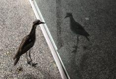 Экзистенциальный журавлик. Птица в Австралии больше месяца приходит на одно и то же место и молча смотрит в зеркало