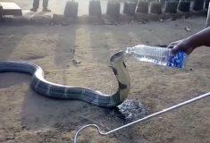 Лесники из Индии спасли и напоили из бутылки огромную дикую кобру
