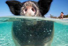 7 из 22 плавающих багамских свинок умерли из-за туристов, дававших им пиво и ром