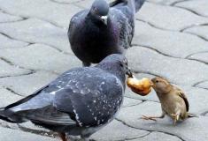 В Англии обычному уличному голубю сделали искусственное дыхание. Профессионально