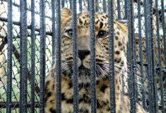 Оказывается, конфискованных диких животных в России убивают. Так говорит глава Росимущества