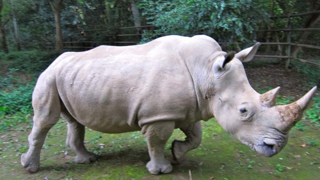 Ем траву, валяюсь в грязи. Единственный живой белый носорог пытается решить проблему с потомством в Tinder