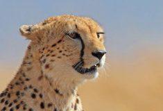 Открытие дня: гепарды не рычат, а мяукают. В твиттере считают, что тут должен быть подвох